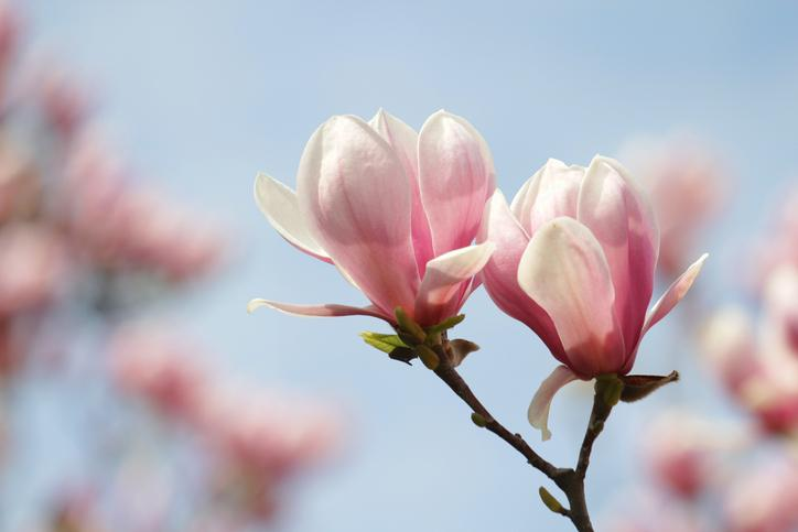 Fragrance Facts: Uses and Benefits of Magnolia