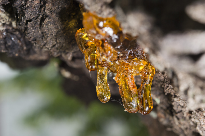 frankincense resin on tree