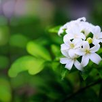 Fragrance Facts: Uses and Benefits of Jasmine