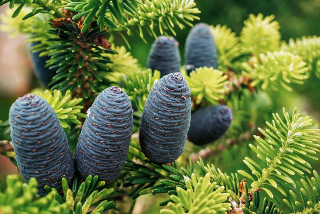 Uses and Benefits of Cedar Oil